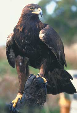Golden Eagle, a 'Protected Species'