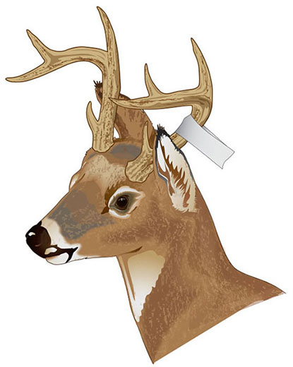 Tagging an antlered deer in Iowa