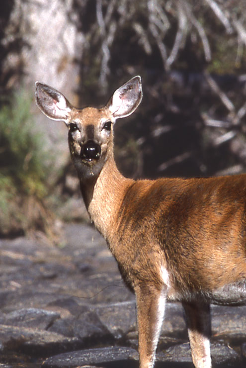 A close-up of a female white-tailed deer