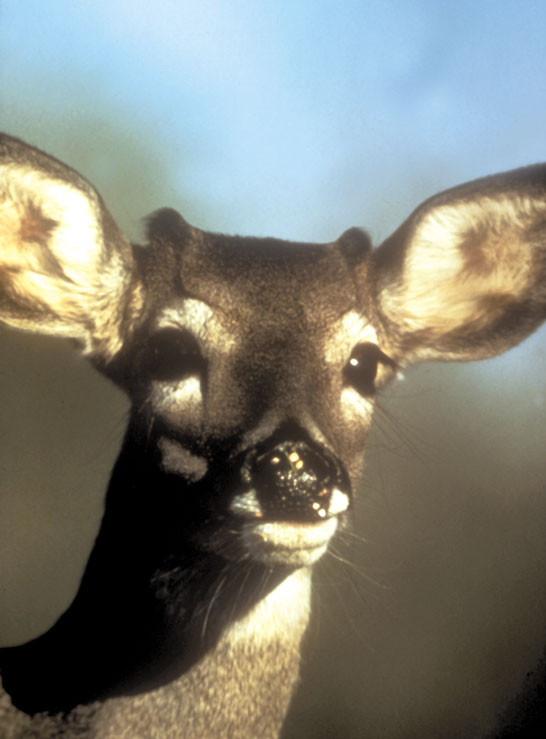 A close-up of a white-tailed buck fawn
