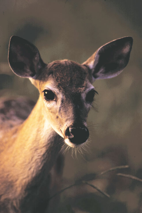 A close-up of a white-tailed doe fawn