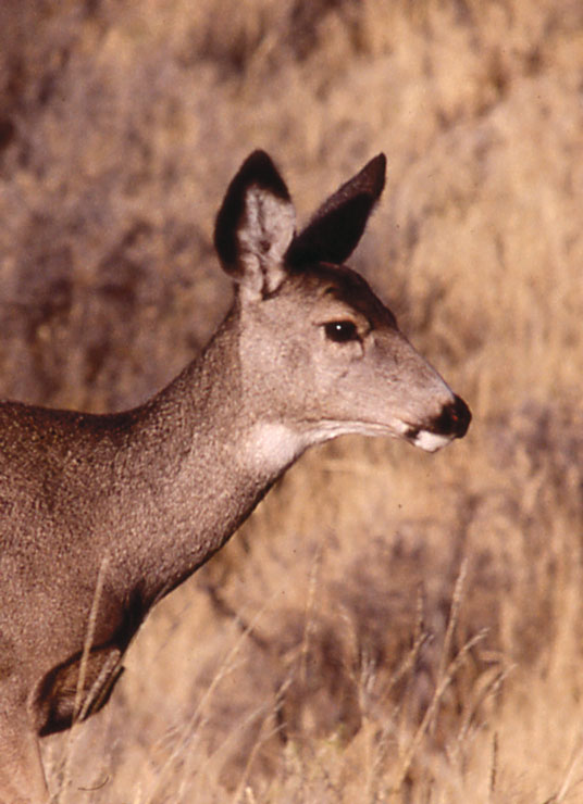 A close-up of a female mule deer