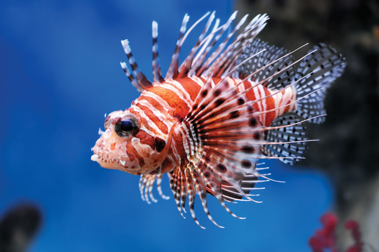A close-up of a lionfish