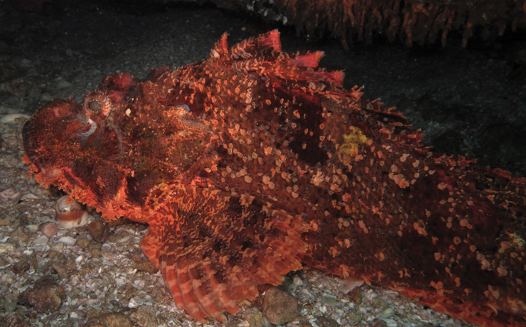 Red scorpion fish at the bottom