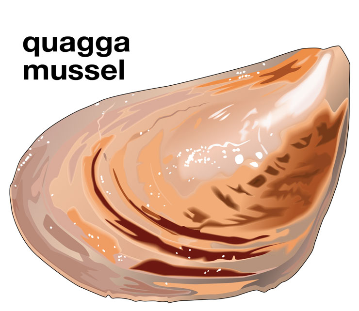 Quagga Mussel - Invasive Species