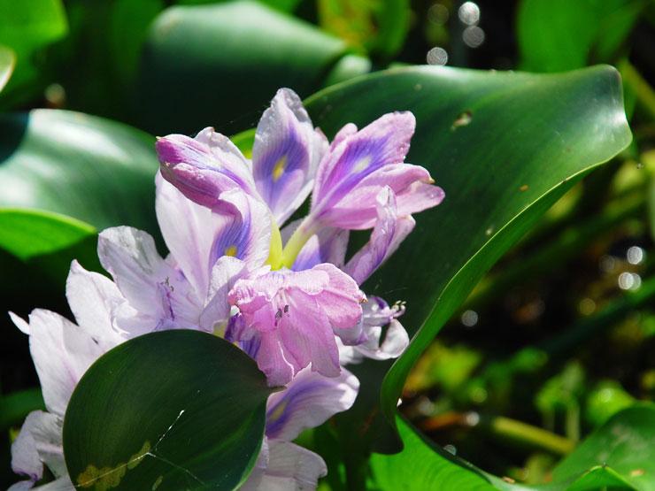 Texas Water Hyacinth Invasive Species