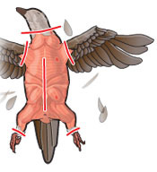 Step 2 of field dressing a bird: Remove the head, feet, and wings. Make a cut along the soft lining tissue on the abdomen.