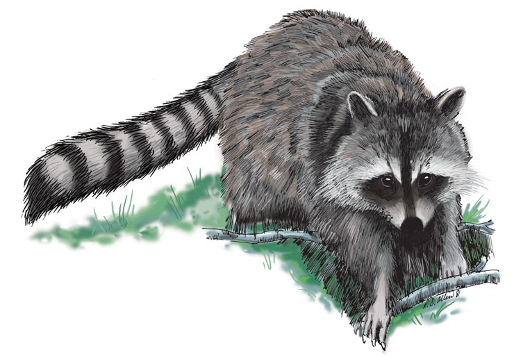 Wildlife Identification Raccoon