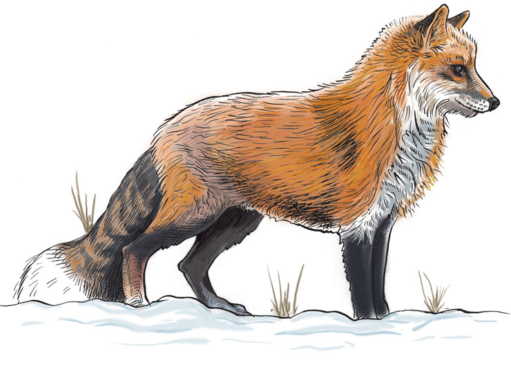 Wildlife Identification Red Fox