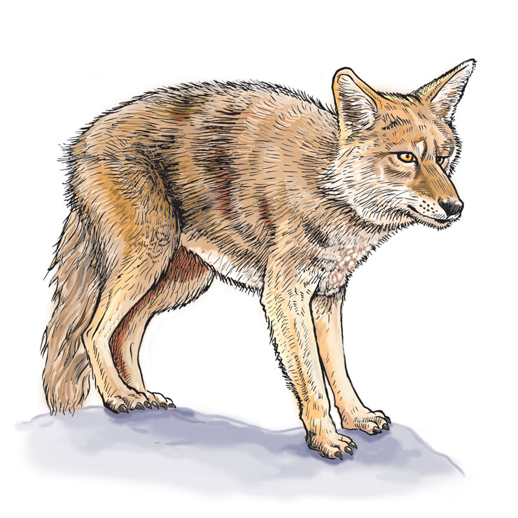 Wildlife Identification Coyote