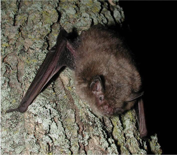 Wildlife Identification Indiana Bat