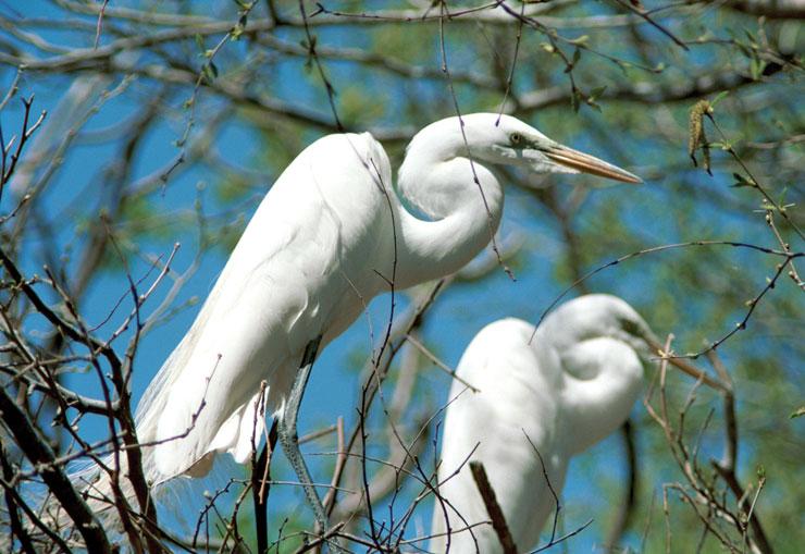 Wildlife Identification Great Egret