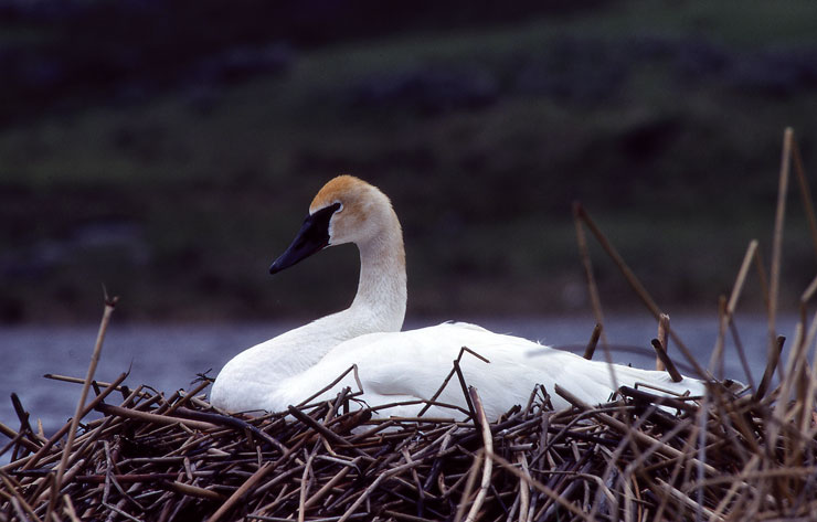 Wildlife Identification Trumpeter Swan