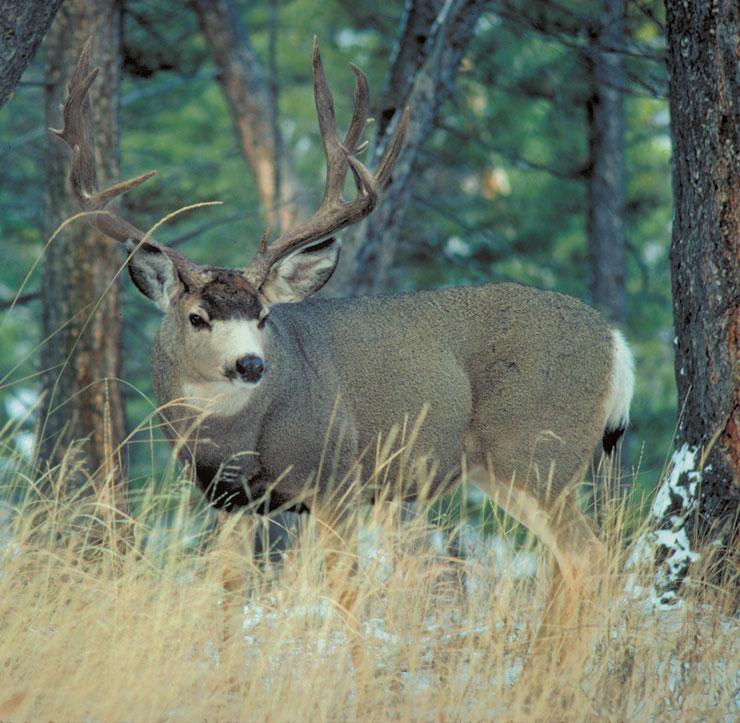 Wildlife Identification Mule Deer