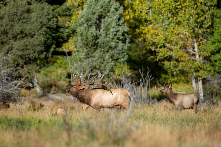 Wildlife Identification Elk Male and Female