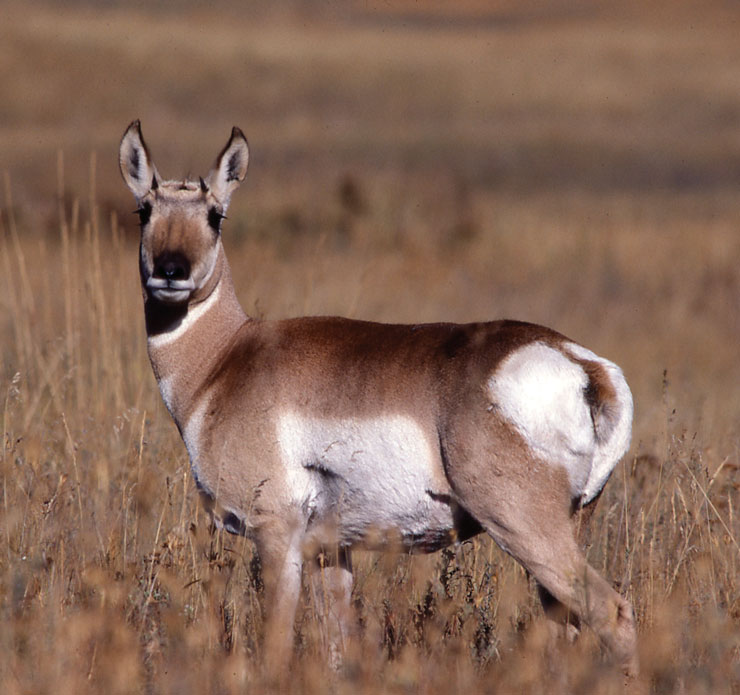 Wildlife Identification Pronghorn Female