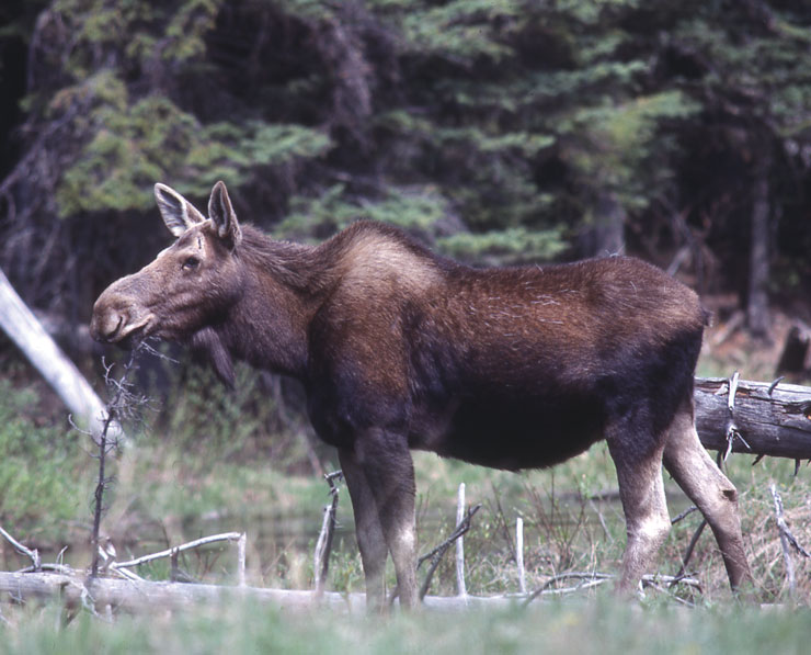 Wildlife Identification Moose Male