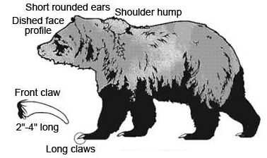 Grizzly Bear Parts