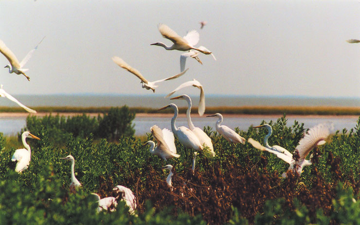 Maryland coastal birds