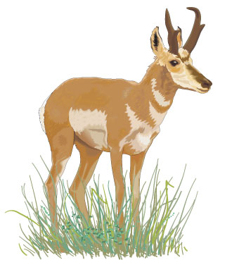 Large mammal: Pronghorn