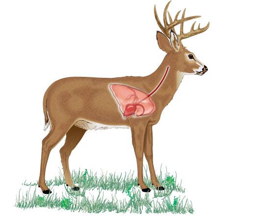 Vital organs of a deer