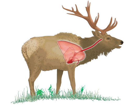 Best shot for larger game such as the elk, is broadside