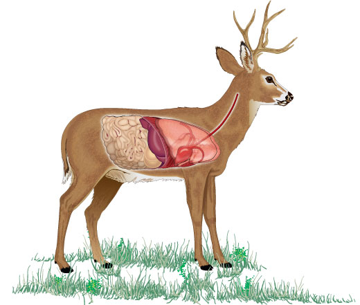 An overlay to show the organs on a deer in a broadside presentation